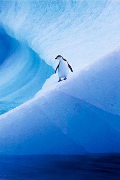 Penguin on a slippery slope!