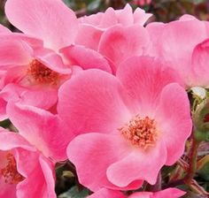 Pink Knock Out - Shrub Rose  Available @ Bluemel's Garden Center 2015 www.bluemels.com
