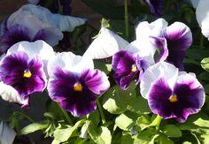 Violas- johnny jump-ups- purple 'n' white