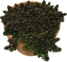 """Succulent Sedum """"Chocolate Ball"""""""