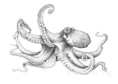 Scientific, Nature and Medical Illustration Octopus Artwork, Octopus Drawing, Octopus Painting, Octopus Tattoo Design, Octopus Tattoos, Tattoo Designs, Octopus Pictures, Tattoo Fixes, Pencil Drawings Of Animals