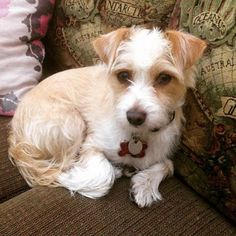 25 Dog Breeds That Live The Longest: RATESE, CROSS BETWEEN A MALTESE & RAT TERRIER, CHEERFUL & LOYAL; MAX LIFE EXPECTANCY: 18 YRS, AVG 16 YRS ~