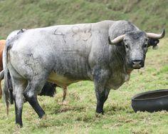 Cruz en un toro