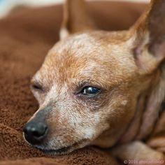 おかーしゃん忙しいんだって💦😣お休みの日は雨ばっかりでわたしの写真も撮れないって言ってたでしゅ😵 Special thanks @photostudio_o 💕 #ミニピン #ミニチュアピンシャー #犬  #愛犬 #minipin #miniaturepinscher #petdog #minpin #chiens