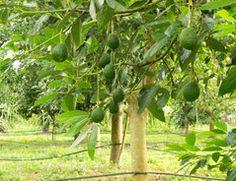 Avocadobaum ziehen - Tipps