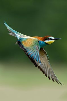 Bee Eater Bird in flight The White-throated Bee-eater is a near passerine bird in the bee-eater family Meropidae. It breeds in semi-desert along the southern edge of the Sahara, Africa. #LIFECommunity #Favorites From Pin Board #10