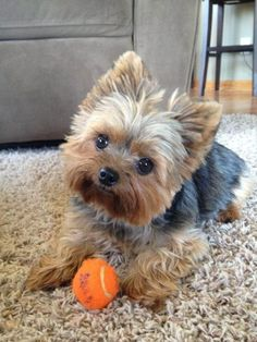 Image via 12 Reasons Why You Should Never Own Yorkshire Terriers. JUST TOO CUTE Image via 20 of the cutest small dog breeds on the planet Image via Yorkshire terrier by ana. Yorkshire Terriers, Yorkshire Terrier Haircut, Miniature Yorkshire Terrier, Yorkshire Puppies, Biewer Yorkshire, Yorkies, Yorkie Hairstyles, Beach Hairstyles, Hairstyle Men