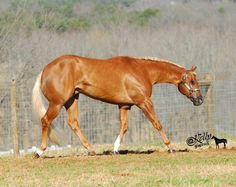 This is a fit horse American Quarter Horse, Quarter Horses, Palomino, Beautiful Horses, Animals Beautiful, Happy Animals, Horse Love, Friends In Love, Needle Felting
