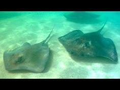 Are We There Yet? - Antigua and Barbuda: Stingrays (Ep. 114) - http://www.nopasc.org/are-we-there-yet-antigua-and-barbuda-stingrays-ep-114/