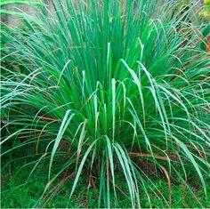Aceite Esencial de Citronela - Cymbopogon nardus Sales, Plants, Fun, Gardens, Veggies, Home, Insect Repellent, Citronella, Essential Oils