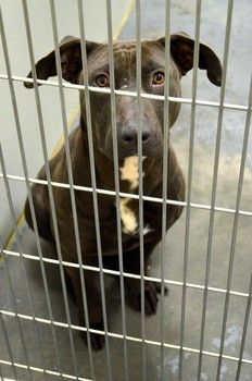 """***SUPER URGENT** Death row dog This beautiful girl is one of 3 dogs at """"the top of the list"""" & at great risk of being destroyed at the filled to capacity animal control in Winder, Ga. She's 2-3rs old & on Saving Barrow County AC Pets Facebook page, a volunteer states she is """"friendly and shy"""". At the facility for weeks with no interest. She needs to be out or she'll simply become another sad statistic. ID#2013-02-067 Ph# (770) 307-3012 Fax# (770) 867-1660 Email ACO: dharper@barrowga.org"""