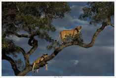 A selection of guest Jason Fernandess amazing sightings of animals in trees! A brilliant Botswana safari exploring Kings Pool and Vumbura Plains. Scroll right to see all. Okavango Delta, African Safari, Big Cats, Wilderness, Wildlife, King, Daily Inspiration, Exploring, Pride