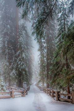 Winter Sequoia trees.