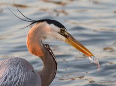 Cheryl Molennor snapped a shot of this great blue heron with its catch by Anclote Pier in Florida. She later noticed that the fish looked like it had an alarmed expression.