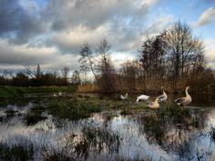 De groep ganzen bivakkeert in de Kleine Dommel in Geldrop. Fotograaf: Toon Vogels