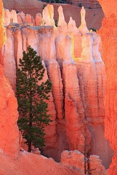 tree braves the stone (Bryce Canyon National Park, Utah. - nps - happybuddhabreathing)
