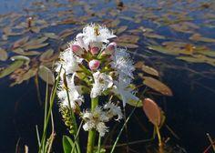 Water Drieblad  (Van vroegevogels)