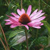 Show product details for Purple Magnus Echinacea Plant