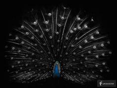 Photographic Print: Pride in Blue by Lars Van de Goor : Just Blinds, Peacock Bird, Bellisima, Black Backgrounds, Photo S, Animal Pictures, Framed Artwork, Find Art, Beautiful Pictures