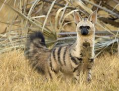 "Aardwolf...The aardwolf is a small, insectivorous mammal, native to East Africa and Southern Africa. Its name means ""earth wolf"" in the Afrikaans / Dutch language."