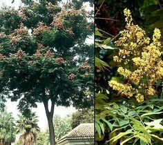 KOELREUTERIA BIPINNATA Chinese Flame tree