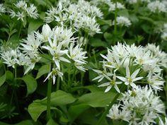 (O))) Allium ursinum : wild garlic
