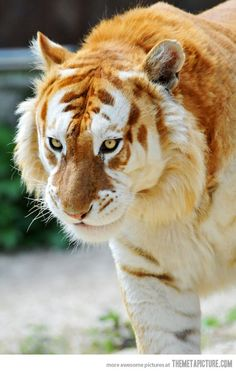 is the rare Golden Tiger This is the rare Golden Tiger - Big cats are such beautiful animals and this one tops the list.This is the rare Golden Tiger - Big cats are such beautiful animals and this one tops the list. Amazing Animals, Majestic Animals, Rare Animals, Animals And Pets, Funny Animals, Wild Animals, Unusual Animals, Exotic Animals, Animals Planet