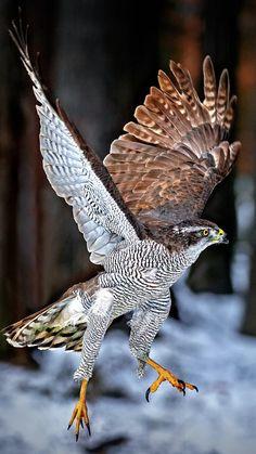 Northern goshawk Pretty Birds, Beautiful Birds, Animals Beautiful, Northern Goshawk, Animals And Pets, Cute Animals, Photo Animaliere, Foto Art, Tier Fotos
