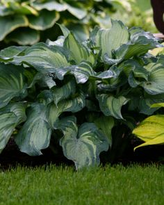 HOSTA Guardian Angel HOSTA in our garden and for sale