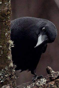 animals tree Black and White nature bird raven crow black bird All Birds, Love Birds, Beautiful Birds, Animals Beautiful, Cute Animals, Beautiful Person, The Crow, Beautiful Creatures, Quoth The Raven