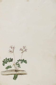 133786 Pelargonium pinnatum (L., Moninckx atlas, vol. Vintage Flowers Wallpaper, Flower Background Wallpaper, Cute Wallpaper Backgrounds, Flower Backgrounds, Cute Wallpapers, Aesthetic Pastel Wallpaper, Aesthetic Wallpapers, Paper Background Design, Molduras Vintage