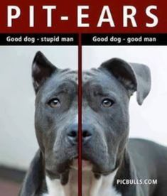 Pitbull Terrier Cropping pit bull ears is stupid! They should be a little floppy. Pitbull Terrier, Terrier Dogs, Bull Terriers, Pit Bulls, I Love Dogs, Cute Dogs, Pitbull Pictures, American Pitbull, Pit Bull Love