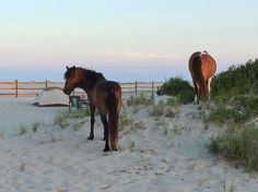 Camping at assateague island maryland.. on the beach and wild horses everywhere