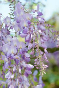 Grimpantes parfumées : 5 plantes qui embaument le jardin