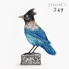 DAY 28 of #100animals100days brings you a Steller's Jay also called a long-crested jay, mountain jay, and pine jay. It is the only crested jay in the west of the Rocky Mountains. . . . #jay #stellersjay #bird #animal #wildlife #nature #illustration #art #kunst #drawing #malerei #blue #blau #vogel #artist #künstler #colouredpencil #pencil #graphite #gouache #watercolour #sandradieckmann #dailydrawing #project