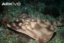 Striped guitarfish on sea floor