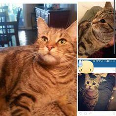 Lost Cat - Tabby - Oshawa, ON, Canada