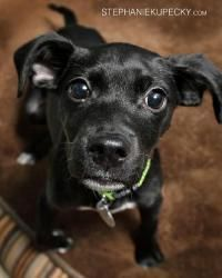 Georgia Babys Blanket is an adoptable Labrador Retriever Dog in Atlanta, GA. Georgia is a playful, totally loving three-month-old Labrador Retriever Mix puppy. She has the sleek black Lab coat everyon...