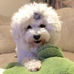 """30 Likes, 2 Comments - Yuki  · Bichpoo/Poochon (@yuki_bichon) on Instagram: """"1st time to dog park this morning, but no other small dogs there... So we played agility tunnel and…"""""""