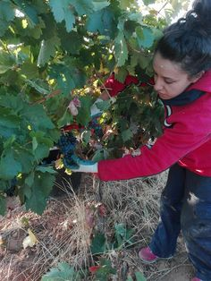 Harvesting Tinto Fino/Tempranillo grapes Hermanos Merino Viña Catajarros, producers of one of Spain's greatest rosados, Corcos del Valle (Valladolid), D. O. Cigales. Photo courtesy of Eugenio Merino, Viña Catajarros — with Viña Catajarros at Corcos del Valle.