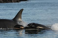 Mother is J28, a twenty-two year old female Southern Resident Killer Whale in the Pacific Northwest. The mother had a previous baby designated J46, a female, born in 2009 and still surviving. This brings the known births of Southern Resident Killer Whales (SRKW) to EIGHT since last December, and the total population of SRKW's as of now to 84 known individuals. 1977 is the only previous year in the past forty years in which as many baby killer whales were born into this community of whales…
