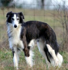 Long-haired Whippet