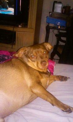My chweenie Dog rusty