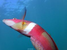 This jerk and his mates pulled my hair #wrasse #fish #uwpics #uwlife #uwphotography #scuba #dive #underwater #underwaterphotography #rottnestisland #thisiswa #seeaustralia #WAnderlust #colourful #travel #travelphotography #bully #jerk #natureaddict #icwest #lifewellspent #octopus by guns_mcghie http://ift.tt/1L5GqLp