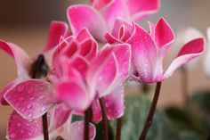 Cyclamen... grows in the shade.    one of my favorite flowers.