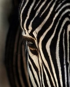 sdzoo:  Each zebra has a unique stripe pattern—no two are alike. Photo by Dona Tracy