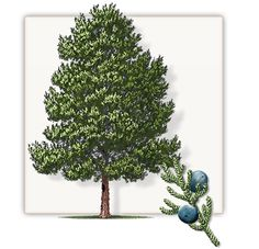 Eastern Red Cedar Tree | Mature Height: 50' - 60' |  Growth Rate: 1' - 2' Per Year | Evergreen  #trees #landscaping #gardening