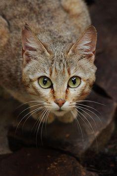 Felis silvestris gordoni - Oman-Falbkatze - Gordon's wild cat