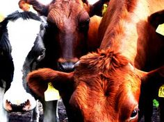 Dairy Cows and Beef Cattle feeds and the differences they make in our food supply, economics, environment, health...