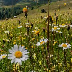 Margeritenblumen  🥰🌼🌿 Dandelion, Flowers, Plants, Dandelions, Plant, Taraxacum Officinale, Royal Icing Flowers, Flower, Florals